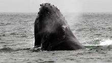 Accord de pêche Maurice-Japon : la polémique «baleine» fondée sur la peur