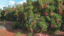 Letchis : une récolte estimée à 2 000 tonnes cette année