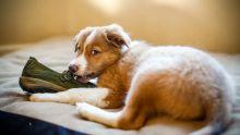 Comment empêcher le chien de manger les chaussures?