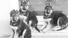Arnaque : de faux chiens de race en vente sur Facebook