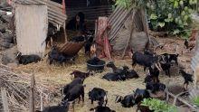 À L'Amitié, Bramsthan : 40 cabris élevés dans un quartier résidentiel