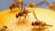 Une mouche des fruits affole les planteurs