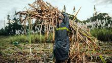 Production : la récolte sucrière 2018 ramenée à 324.000tonnes