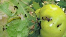 Agriculture : les pommes d'amour en danger