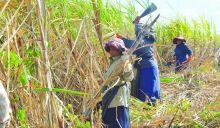 Industrie cannière : Maurice honorera-t-il ses engagements avec 360 000 tonnes de sucre ?