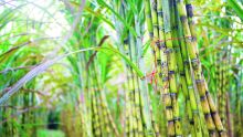 Three new sugarcanevarieties to be introduced