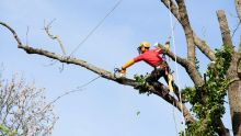 La crainte d'une retraitée de 72 ans : menace de chute de deux arbres sur sa maison