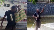 À Port-Louis : des «voleurs» de mangues se servent devant les proprios