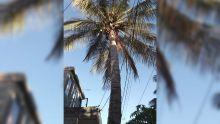 Stanley, Rose-Hill : un cocotier menace de tomber
