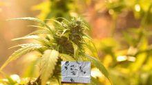 Possession et culture de cannabis : Amitabh Bacchan G. et Rajesh Khanna L. crèvent l'écran sur defimedia.info