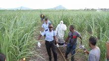 Bambous : le cadavre d'une femme découvert dans un champ de canne