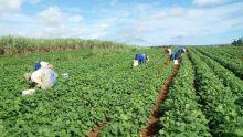 Diversification : Rose-Belle Sugar Estate se lance dans la production des orchidées