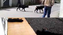 À Holyrood, Vacoas : deux rottweilers terrorisent les habitants