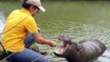 Un hippo nain à Casela…