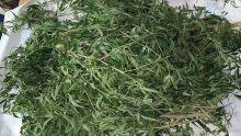 Plus de 2 000 plants de gandia valant Rs 6 millions déracinés par l'Adsu