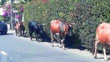 Vu à Grand-Baie : des bœufs respectueux du Code de la route ?