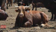 Fièvre aphteuse en Afrique du Sud : Maurice risque une pénuriede viande bovine
