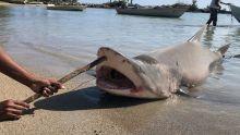 S.O.S Requins : un plan pour la conservation de certaines espèces à l'agenda