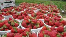 Production en difficulté : comment se porte la récolte des fraises ?