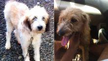 Plusieurs cas d'empoisonnement : un tueur de chiens sévit à Triolet
