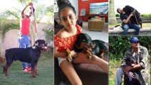 Rottweilers : ces chiens suscitant admiration et crainte
