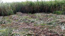 Agro-industrie : à Rs 9 700 la tonne de sucre les planteurs en crise ?