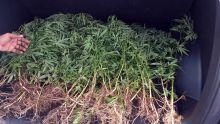 À Mount : des plants de cannabis valant Rs 500 000 déracinés
