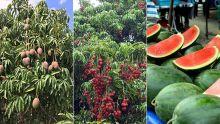 Fruits de saison : quand les nuisances rendent la vie amère aux planteurs