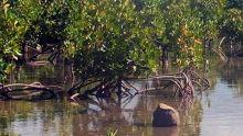 À Trou-d'Eau-Douce : il signale une coupe «illégale» de mangliers