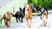 À Rivière-des-Anguilles : les chiens errants font la loi