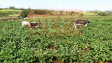 Des boeufs «détruisent» une plantation à Grand-Baie : leurs propriétaires sanctionnés