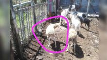 Goodlands : trois suspects arrêtés pour le vol de chèvres et moutons