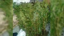 Bambous : 304 plants de gandia valant Rs 10 millions déracinés
