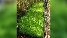 Record à Piton : 11, 365 plants de gandia valant Rs 34 millions déracinés dans 3 champs de canne