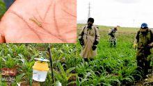 Chenilles légionnaires à Rodrigues : des pesticides utilisés pour lutter contre les insectes