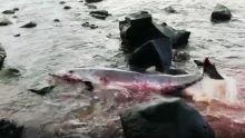 Gris-Gris : un deuxième dauphin en difficulté ce soir dans les récifs