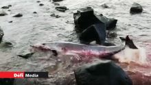 Gris-Gris : des analyses seront effectuées sur le second dauphin retrouvé mort