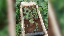 Olivia : le planteur ne cultivait pas que des légumes...
