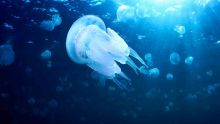 Alerte aux méduses à Tamarin et La Preneuse