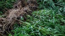 Aux Gorges de la Rivière Noire : 220 plants de gandia déracinés