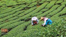 Plantation de thé : des fertilisants offerts gratuitement aux planteurs