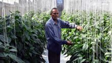 L'amour des Kisnah pour la terre : la serriculture à 70 ans