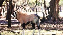 Casela : des oryx débarquent à Maurice