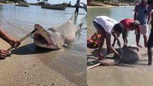Requin-bouledogue capturé à Grand-Gaube