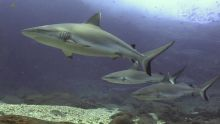 Des requins au nord de Maurice : des images exceptionnelles