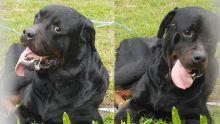 Où sont passés les deux Rottweilers qui ont semé la peur dans des quartiers de Vacoas ?
