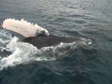 [Xplik ou K Enquête] Une quinzaine de baleines aperçues au large du Morne