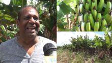 Piton : Satyajeet identifie ses bananes volées grâce à une astuce