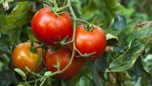Pour faire face à la mineuse de la tomate : 180 pièges installés dans le pays