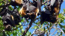 Abattage des chauves-souris : L'IUCN classe ces mammifères sur la liste rouge